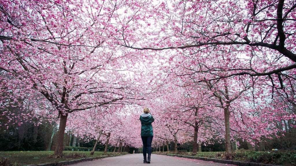 Copenhagen Sakura Festival - Bispebjerg Kirkegård