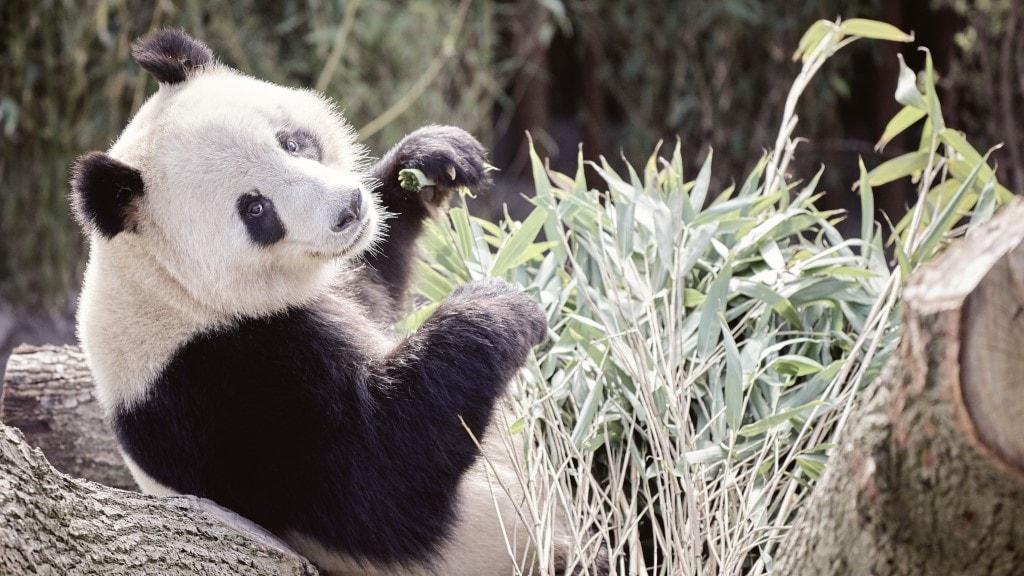Pandaerne i Zoo