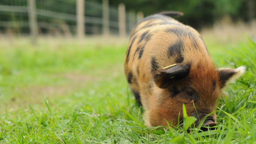 KuneKune gris på besøgsgården Tothaven v. Hundested