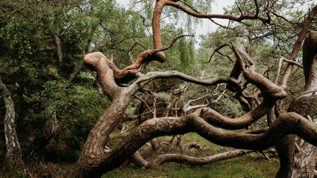 Et forvredent fyrretræ i Troldeskoven.