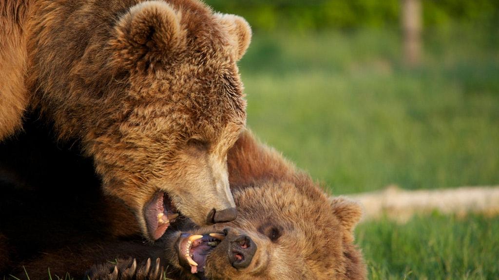 Brun bjørn i Skandinavisk Dyrepark