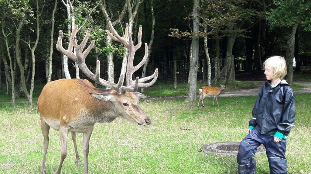 Deer in the Nørreskoven in Esbjerg