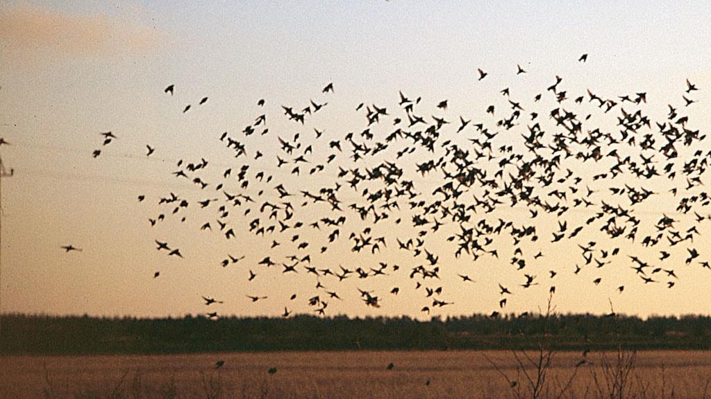 Fuglekiggeri i Hirtshals