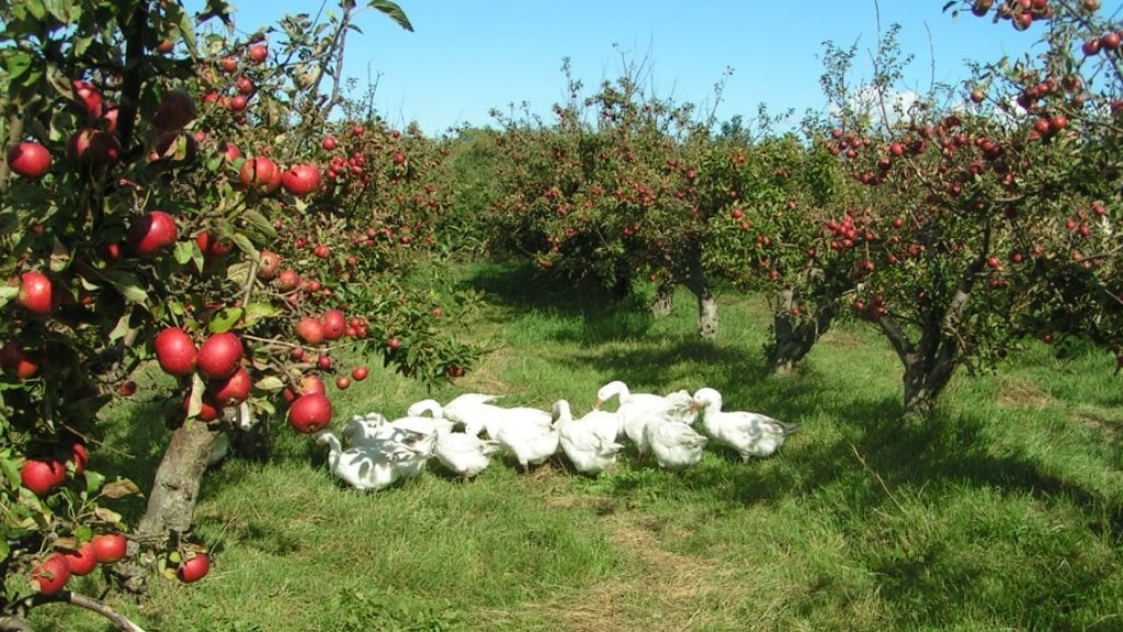 Apple trees on the apple orchard on Tuse Næs in West Zealand