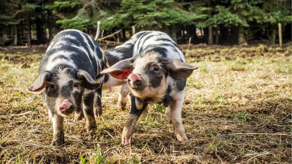 Små grise på den økologiske gård Birthesminde