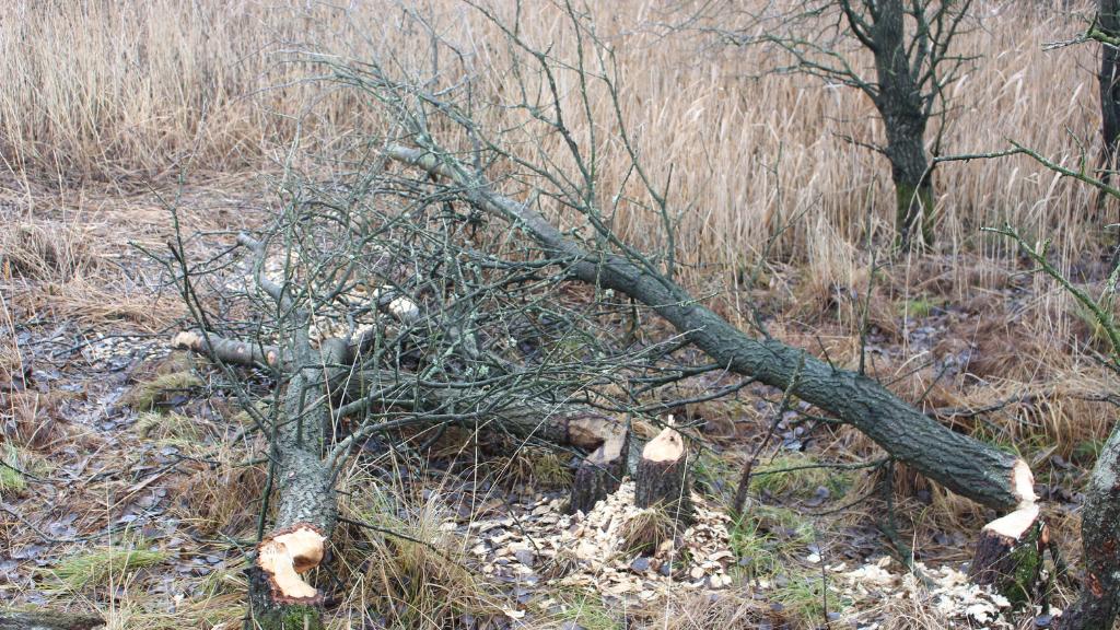 Bæverfældede træer