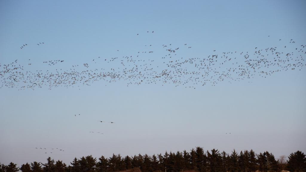 Flyvende gæs over trætoppe