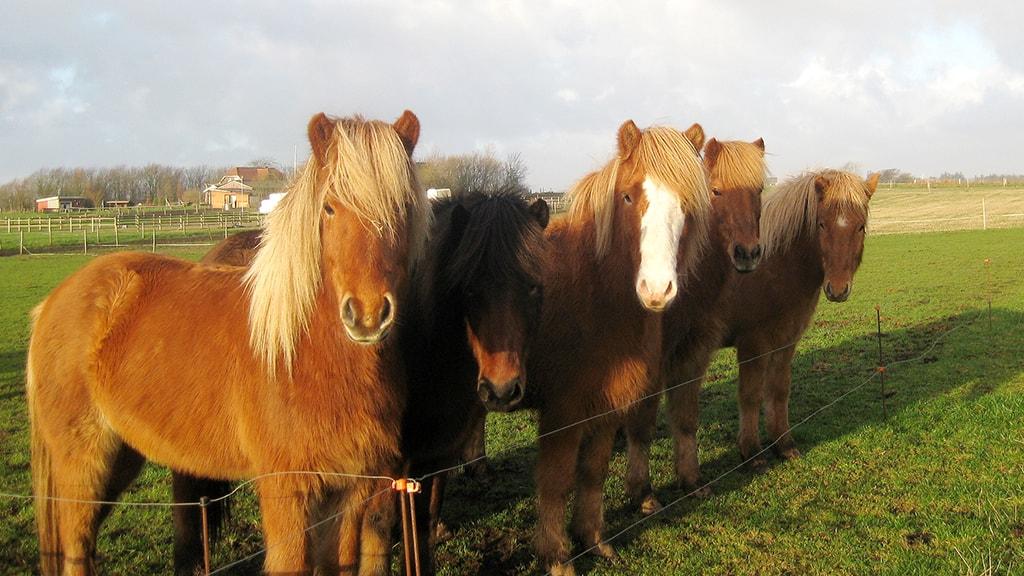 Mølgaard Ridecenter heste