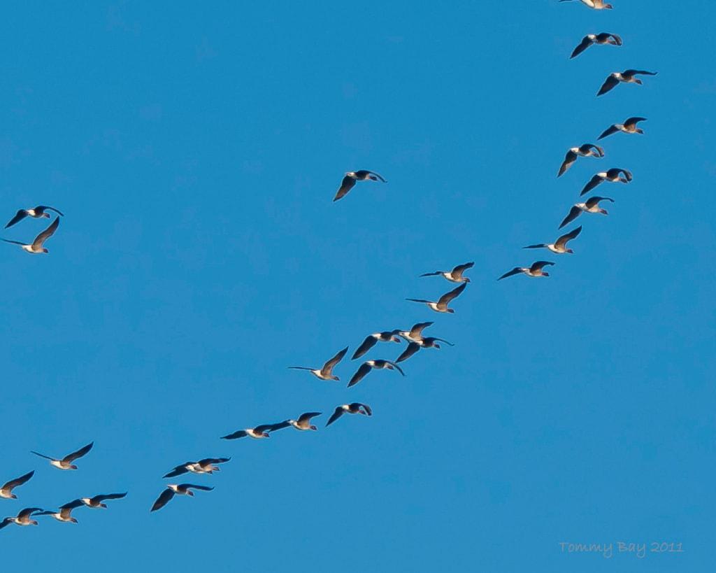 Fugle, Lemvig