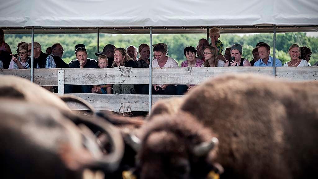 ditlevsdal-bisonfarm-2016-nordfyn