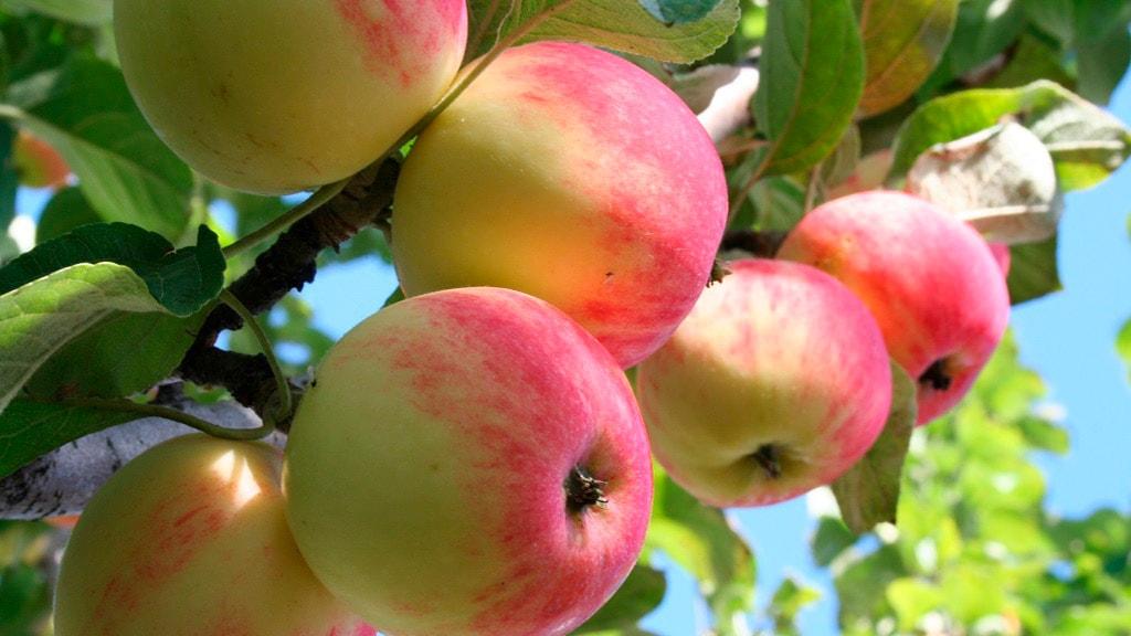 Nørreløkkegård-æbler