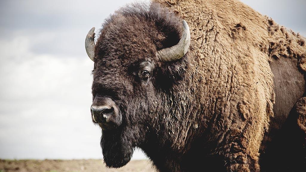 Stor bison