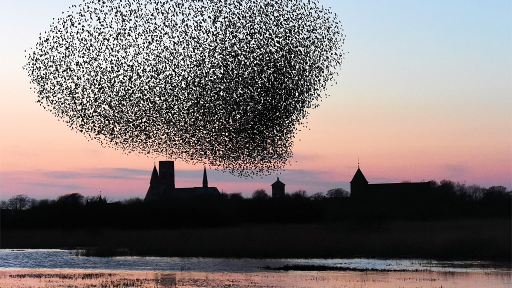 Starling Magic over Ribe Cathedral