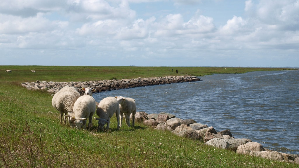 Sheep at Kammerslusen close to Ribe