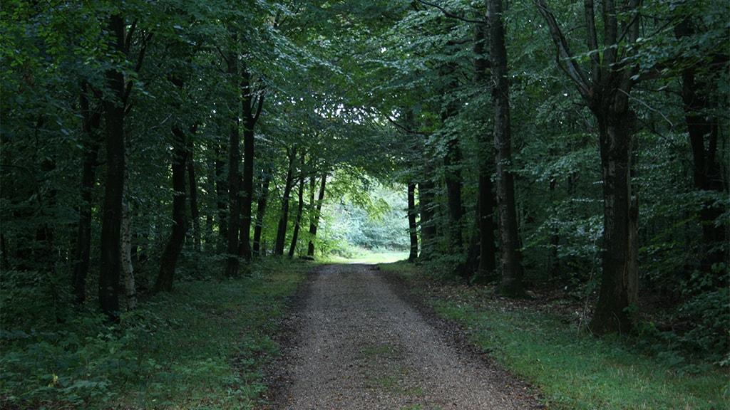 Skovens katadral gennem Haraldsholm Skov