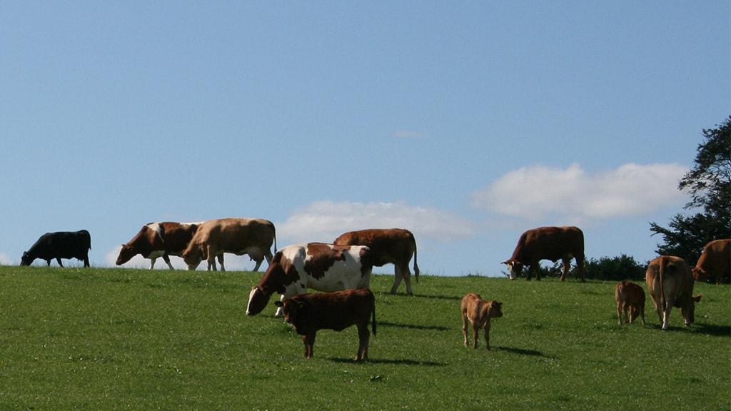 Køer på græs i Maltbæk