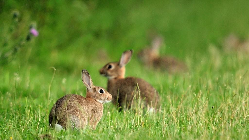 Endelave er kendt som kaninernes ø