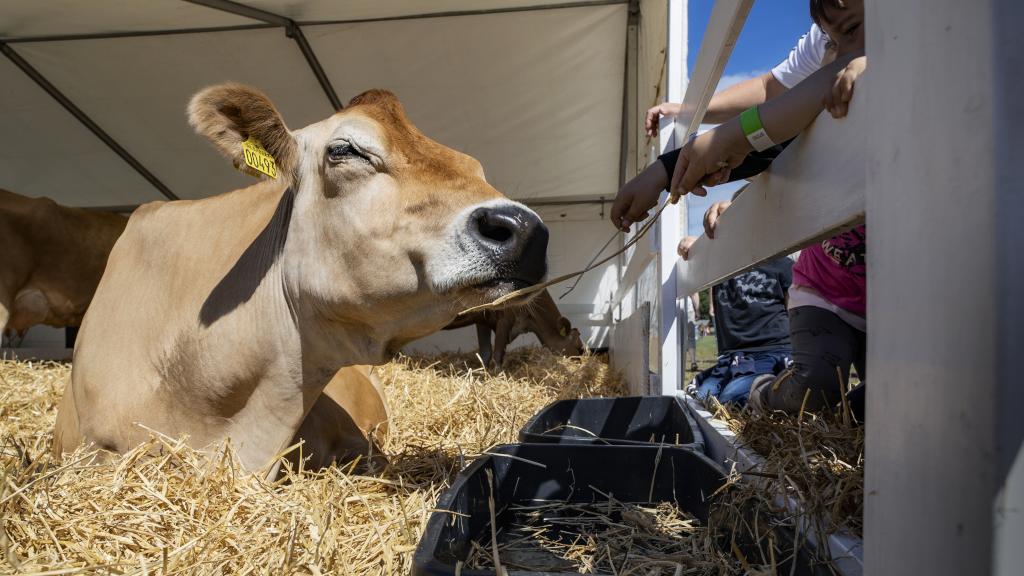 Børn klapper ko til Horsens Dyrskue & Madmarked