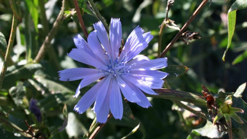 Blomst i Endelave Lægeurtehave