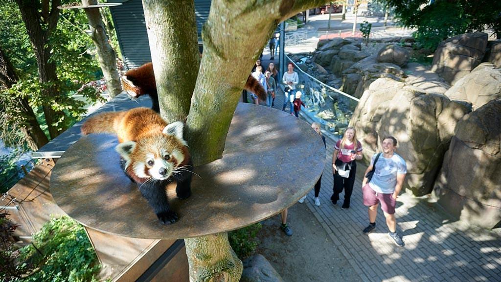 Rød panda i Odense Zoo