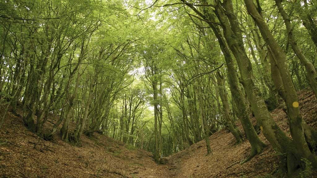 Dal i Rold skov med Bøgetræer